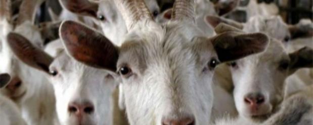 Неподалеку от Казани фермер открыл специальный приют для коз, которых бросили хозяева