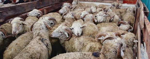В Татарстане возьмут под контроль баранов для Курбан-байрама